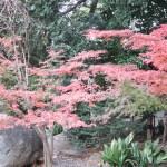 Japanese maple/ イロハモミジ 紅葉の様子