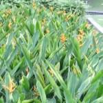 Heliconia psittacorum 花の咲いている様子