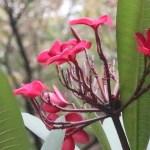 Plumeria/ プルメリア 赤色の花の様子
