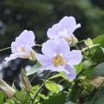 Bengal clockvine/ ベンガルヤハズズカズラ 花の様子