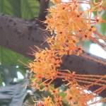 Yellow Saraca/ キバナサラカ 花の様子