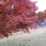 Japanese maple/ イロハモミジ 色づいた葉の様子