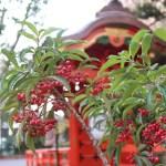 Christmas berry/ マンリョウ 花の咲いている様子