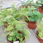 Ainsliaea macroclinidioides var. okinawensis/ オキナワハグマ 花の咲いている様子(手前の鉢)