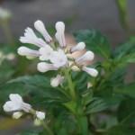 Ophiorrhiza japonica/ サツマイナモリ 花の姿