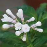 Ophiorrhiza japonica/ サツマイナモリ