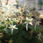 Saxifraga fortunei jotanii/イズノシマダイモンジソウ 花の様子