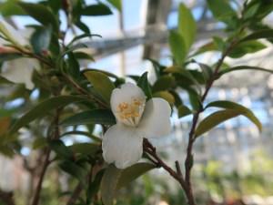 Camellia lutchuensis ヒメサザンカ 花の様子