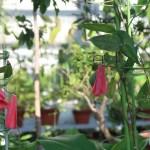 Chilean bellflower / ツバキカズラ 花の咲いている様子