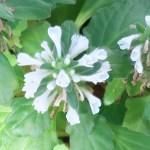 Ajuga boninsimae/ シマカコソウ 花の姿