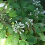 Ajuga boninsimae/ シマカコソウ 花の様子