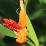 Hedychium horsfieldii/ ヘディキウム・ホースフィエルディ 花の姿