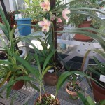 Spathoglottis microchilina/ スパトグロッティス ミクロキリナ 花の咲いている様子
