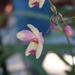 Spathoglottis microchilina/ スパトグロッティス ミクロキリナ 花の姿