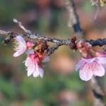Cherry var. Kanzakura/ カンザクラ 花の様子
