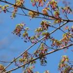Japanese maple/ イロハモミジ 花の咲いている様子