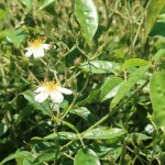 Wild/ species rose/ Musk Rose ロサ モスカータ 花の咲いている様子