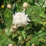 Wild/ species rose/ Three Leaf Rose/ ロサ・アネモネフローラ 花の様子