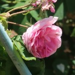 Old garden rose/ Rosa Centifolia Bullata ロサ・ケンティフォリア・ブラータ 花の姿