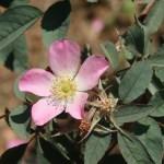 Wild/ species rose/ Rosa glauca ロサ・グラウカ