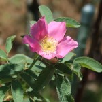 Wild/ species rose/ Rosa canina English Brier イングリッシュブライヤー 花の様子