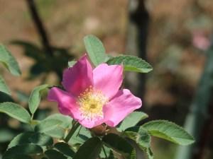 Wild/ species rose/ Rosa canina English Brier イングリッシュブライヤー 花の姿
