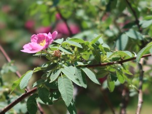 Wild/ species rose/ Rosa canina English Brier イングリッシュブライヤー 花の咲いている様子
