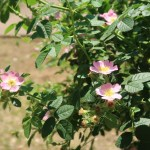 Wild/ species cross/ Lady Penzance レディ・ペンザンス 花の咲いている様子