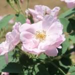 Wild/ species rose/ Apple rose ロサ・ポミフェラ 花の様子