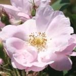 Wild/ species rose/ Apple rose ロサ・ポミフェラ 花の姿