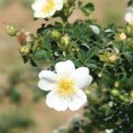 Wild/ species rose/ Rosa horrida ロサ・ホリダ 花の様子