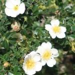 Wild/ species rose/ Rosa horrida ロサ・ホリダ 花の咲いている様子