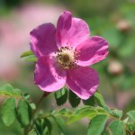 Wild/ species rose/ Rosa pendulina oxyodon ロサ・ペンデュリーナ・オキシオードン
