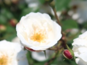 Wild/ species cross/ Rosa ruga ロサ・ルガ 花の姿