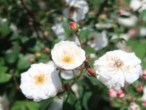 Wild/ species cross/ Rosa ruga ロサ・ルガ 花の様子