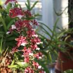 Oncidium オンシジューム Onc. Sweet Fragrance 花の咲いている様子