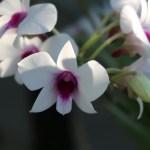 Papilionanthe/ パピリオナンセ Ple.terres 花の姿