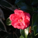 Sasanqua camellia/ サザンカ 花の様子