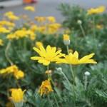 Gray-leaf euryops / ユリオプスデージー