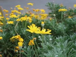 Gray-leaf euryops / ユリオプスデージー 花の様子