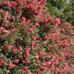 Sasanqua camellia/ サザンカ 花の咲いている様子