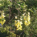 Laburnum anagyroides/ Golden chain/Maggiociondolo, Flowers blooming