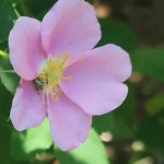 Nootka Rose/ ロサ・ヌトカーナ
