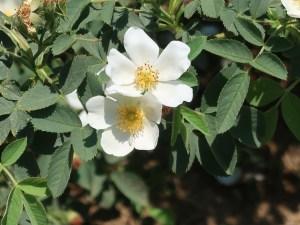 Semi Rose/ ロサ・ラクサ Figure of flowering