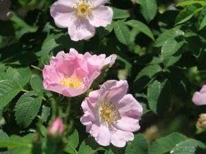 Rosa canina X Rosa gallica ロサ・カニーナ X ロサ・ガリカ Figure of Flowers