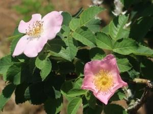 Rosa canina X Rosa gallica ロサ・カニーナ X ロサ・ガリカ Figure of Flowering