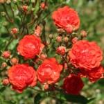 Modern garden rose/ Polyantha/ Rosa X Gloria Mundi/ グロリア・ムンディ