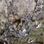 Prunus mume/ Japanese apricot/ ウメ 梅 品種:十郎
