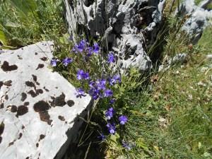 Viola eugeniae (Viola farfalla)/ Eugenia's violet/ビオラ ユーゲニアエ