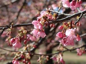 河津桜 Cherry Kawadu